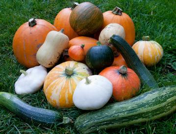 squash harvest.jpg